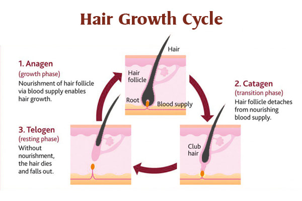 hair growth cycle anagen, catagen and telogen