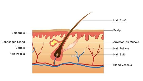anatomy of hair follicle